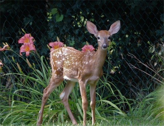 Picture of a fawn in a field