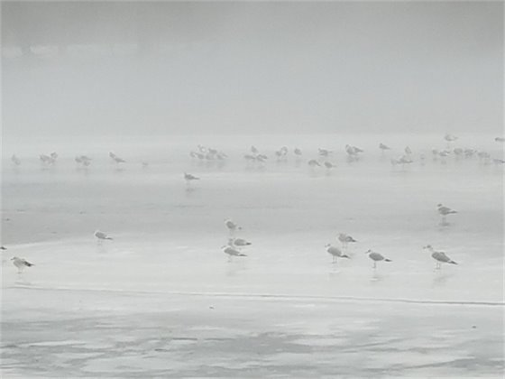 Picture of seagulls on the frozen Connecticut River