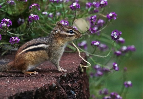 Picture of a chipmunk enjoying summer flowers