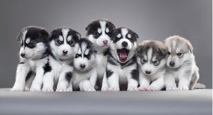 Picture of cute puppies
